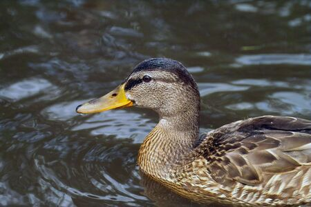 The duck swiming in whater photo