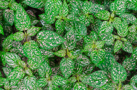 Pattern of Polka dot plant (Hypoestes phyllostachya), top view. Selective Focus.