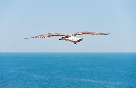 wingspread: Flying seagull on sea background.