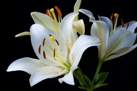 Lily on black background close up.