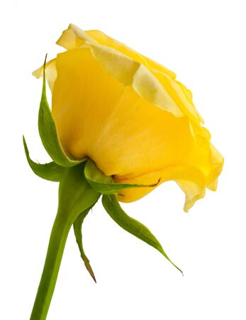 disclosed: Yellow rose isolated on white background. Stock Photo