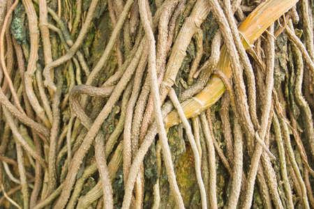 Tree roots wrapped around the tree Stock Photo - 14647360