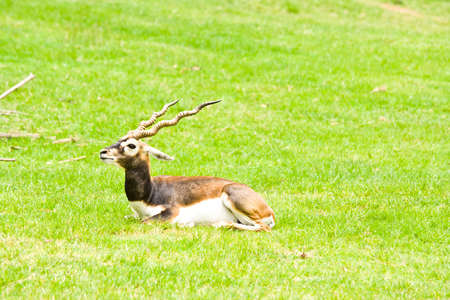 tanzania antelope: Shows a deer lying on the lawn