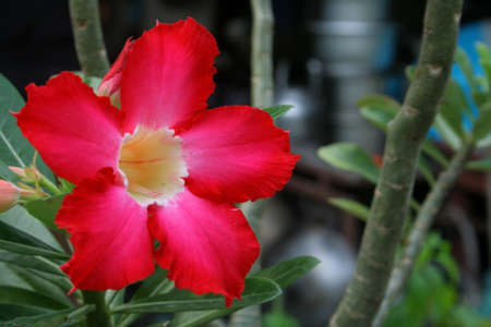 Azalea flowers blooming in the garden  photo