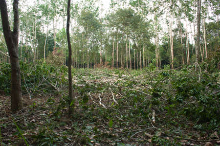 Felled rubber trees were cut after the expiry of the latex. photo
