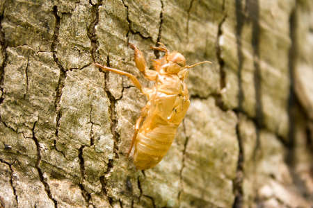 Insect molting by the bark of a tree in a natural grip  photo