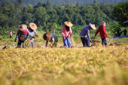 farm worker: harvest day, farmer working in paddy  Stock Photo