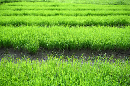 Jasmine rice growing in paddy  photo