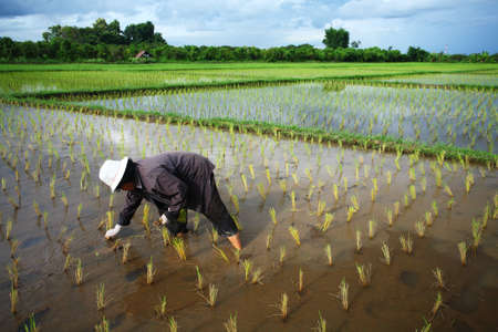 rice plant: Thai farmer start plantings rice rice in water paddle