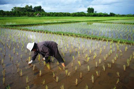 farm worker: Thai farmer start plantings rice rice in water paddle