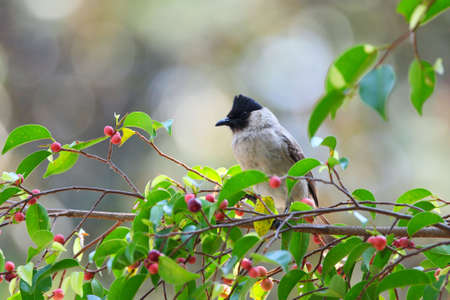 tele up: Red-whiskered Bulbul sitting on tree#3. (Pycnonotus jocosus)