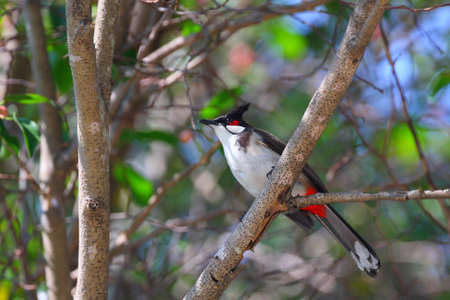 Red-whiskered Bulbul sitting on tree#3. (Pycnonotus jocosus)  photo