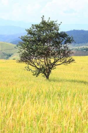 alone tree in rice field  photo