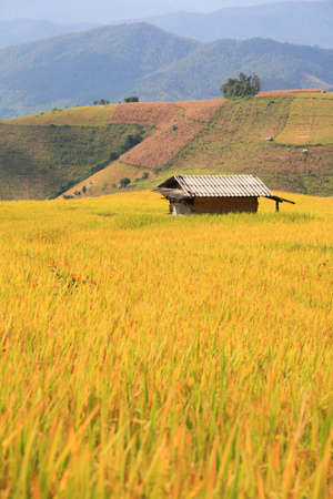 Rice field and mountain view.  photo