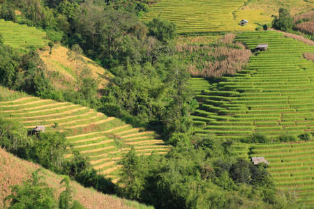 ricefield: nice rice terrace in north Thailand.