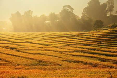 grain fields: terrace of Rice field with sunrise.  Stock Photo