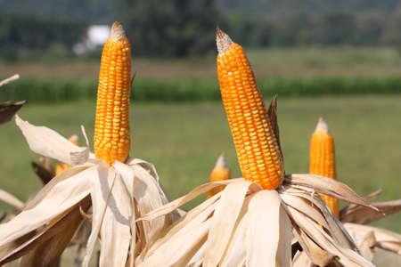 maize cultivation: corn on plant  Stock Photo