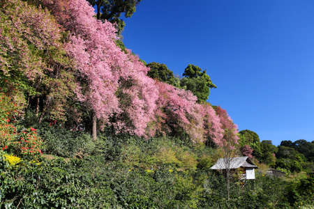 Sakura flower blooming with little hut, ChiangMai Thailand  photo
