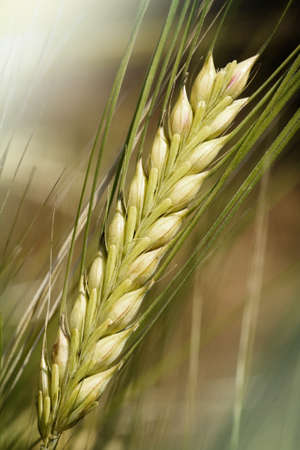 non cultivated: Barley - wheat close-up  Stock Photo