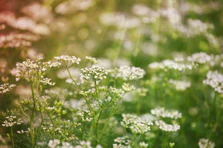 white flowers background Stock Photo - 12747575