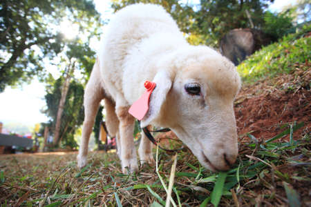 sheep eating grass on hill   photo