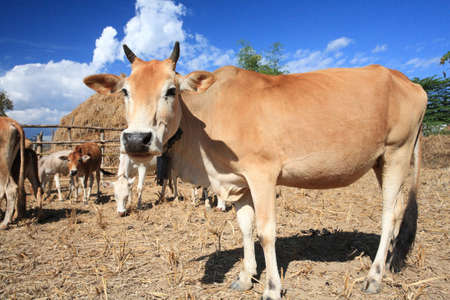 cow in field   photo