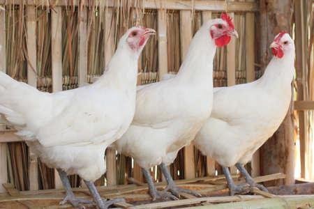 granja avicola: pollo blanco Foto de archivo