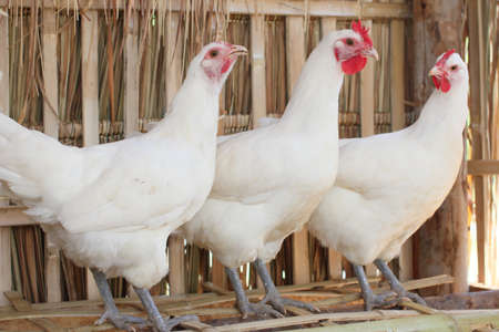 poultry farm: white chicken
