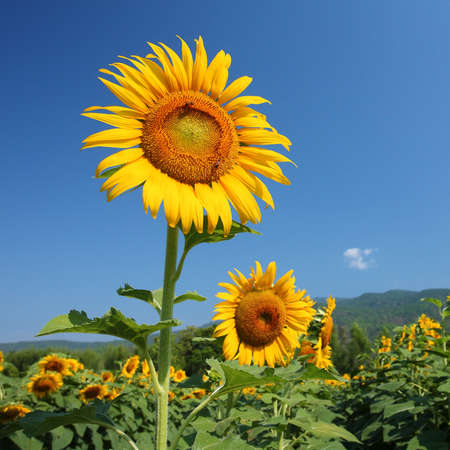 sunflowers filed  Stock Photo - 14344844