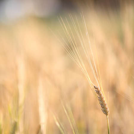 barley photo