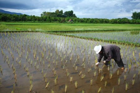 rice fields: Asian female farmer planting rice in field  Stock Photo