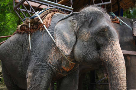 east riding: old female asia elephant with saddle in Thailand