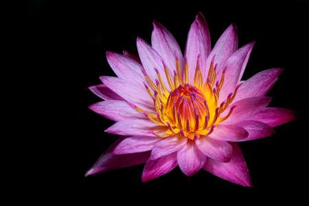 Pink lotus isolated black background Stock Photo - 14724000