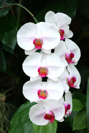 thai orchid: white orchid in tropical forest