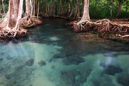 mangrove forest: clear crystal creek in mangrove forest  Stock Photo