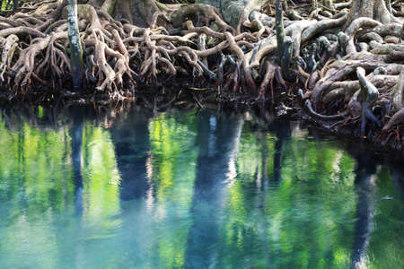 viewpoints: tree roots close up in mangrove forest