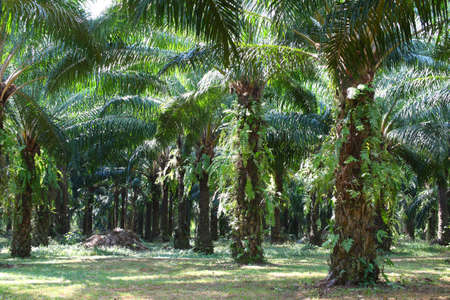 oil palm plantation. photo