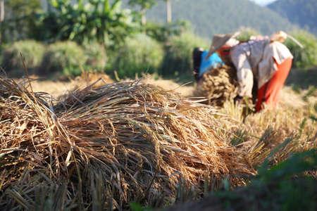 jasmine rice: Jasmine rice harvest in Thailand.