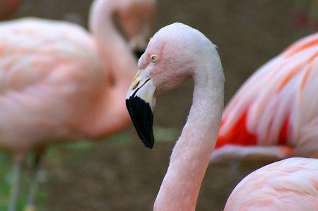 Profile of a flamingo