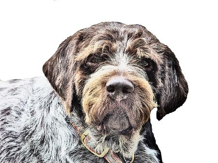 German Wirehaired Pointer Stock Photo - 518266