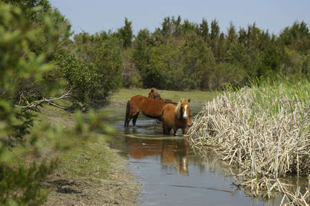 Wild ponies at water hole photo