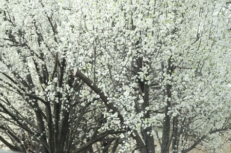 Flowering pear trees Stock Photo
