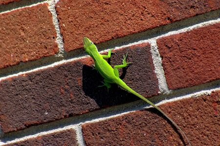 Lizard on a brick wall Stock Photo - 561621