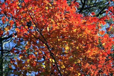 A shot of red maple leaves on a windy day Stock Photo - 604646