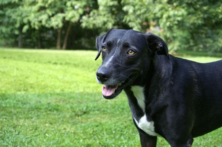 Black dog in the yard Stock Photo