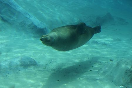 A seal in the zoo swimming upside  down