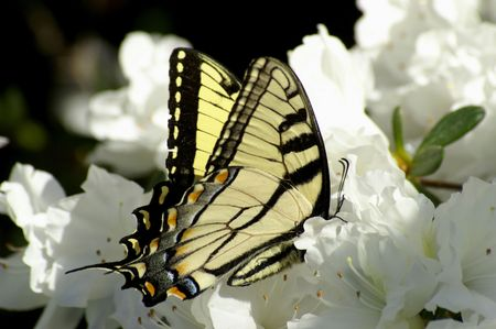 A colorful butterfly feeding on white azeleas Stock Photo - 608406