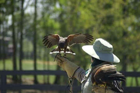 A pair of Harris Hawks with trainer