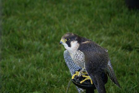A peregrine falcon on display at a fair
