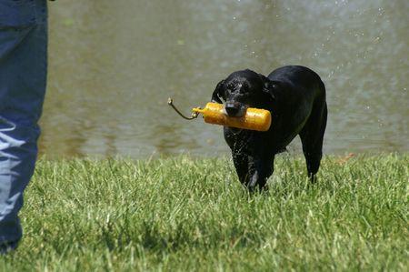 A retriever dog at a dog show Stock Photo - 882137